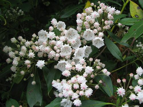 {#/pub/images/mountain_laurel_flower.jpg}