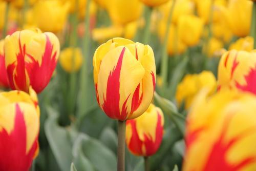 {#/pub/images/tulips.jpg}